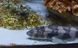 Акула Brownbanded бамбуковая в танке аквариума стоковая фотография