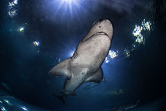 Акула 1 Sevengill Стоковая Фотография