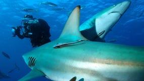 2 акулы и водолаз акваланга Стоковые Изображения RF