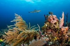 Акулы курсируя над рифом Стоковые Фотографии RF