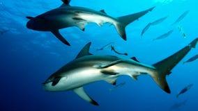 2 акулы плавая такие же Стоковое Изображение RF