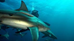 2 акулы плавая Стоковые Изображения RF