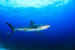 Акулы рифа в океане Стоковая Фотография
