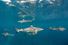 Акулы рифа Blacktip в мелководье Стоковое Фото