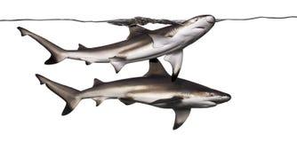 2 акулы рифа Blacktip плавая на поверхности Стоковые Изображения