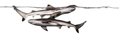 Акулы рифа Blacktip плавая совместно на поверхности wat Стоковое Изображение