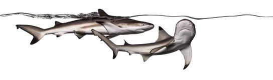 Акулы рифа Blacktip плавая совместно на поверхности wat Стоковые Фотографии RF