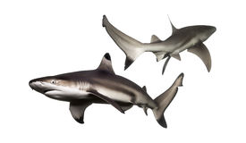 2 акулы рифа Blacktip плавая Стоковое Изображение