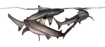 3 акулы рифа Blacktip плавая Стоковые Изображения RF