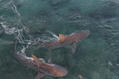 акулы Стоковое Изображение RF