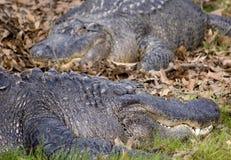 аллигаторы Стоковое Фото