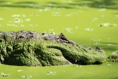 аллигатор амазонская Бразилия Стоковое Фото