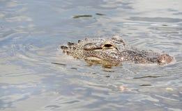 Аллигатор в воде Стоковые Фото