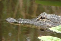 Аллигатор в одичалом Стоковое Фото