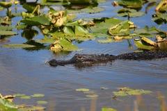 Аллигатор в реке Стоковая Фотография RF