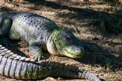 Аллигатор дает зловещую улыбку стоковые изображения