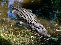 Аллигатор на крае заболоченного рукава реки Стоковые Изображения