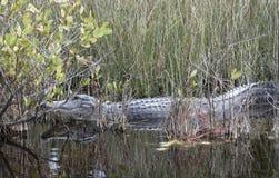 Аллигатор отдыхая в тропическом болоте Стоковая Фотография