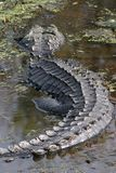 аллигатор Стоковые Изображения