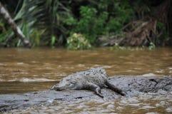 аллигатор стоковые фотографии rf