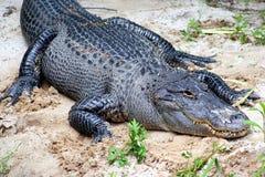 аллигатор Стоковое фото RF