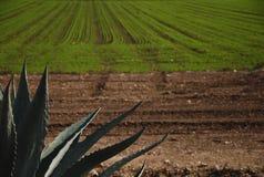 Алоэ vera в поле стоковая фотография rf