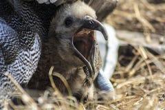 Альбатрос младенца со своим пиком открытым стоковые изображения rf