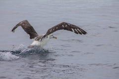 Альбатрос начинает лететь из моря стоковое изображение rf