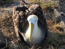альбатрос Стоковое фото RF