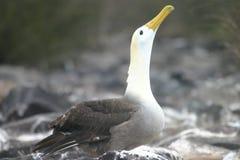 альбатрос Стоковое Фото