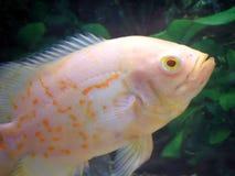 альбинос oscar Стоковые Фотографии RF