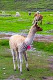 Альпака пася на Machu Picchu, Cuzco, Перу стоковые фотографии rf