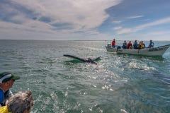 АЛЬФРЕДО LOPEZ MATEOS - МЕКСИКА - 5-ое февраля 2015 - серый кит причаливая шлюпке Стоковое Изображение