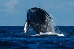 Аляска пробивая брешь кит sw звука humpback frederick Стоковое Фото