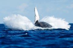 Аляска пробивая брешь кит sw звука humpback frederick Стоковые Фотографии RF
