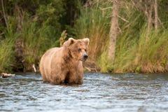 аляскская хавронья коричневого цвета медведя Стоковое Изображение