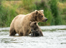 аляскская хавронья новичка коричневого цвета медведя стоковое изображение