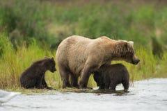 Аляскские бурый медведь и новички Стоковое Изображение