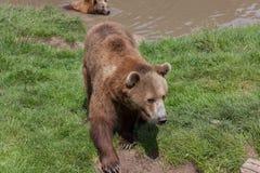 Аляскские прибрежные бурые медведи стоковая фотография rf