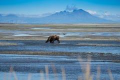 Аляскские прибрежные поиски гризли бурого медведя для рыб в реке в национальном парке Katmai, сидя на отмели стоковое фото