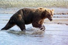 Аляскские прибрежные поиски гризли бурого медведя для рыб в реке в национальном парке Katmai, сидя на отмели стоковое фото rf