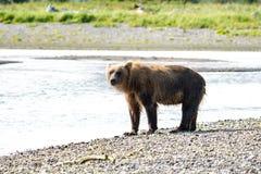 Аляскские прибрежные поиски гризли бурого медведя для рыб в реке в национальном парке Katmai, сидя на отмели стоковое изображение