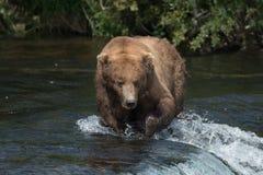 Аляскский бурый медведь на падениях стоковая фотография rf