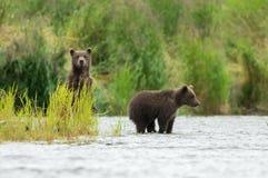 Аляскский бурый медведь Cubs Стоковое фото RF