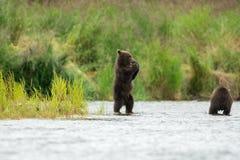 Аляскский бурый медведь Cubs Стоковые Фото