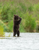 Аляскский бурый медведь Cubs Стоковое Изображение