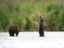 Аляскский бурый медведь Cubs Стоковые Фотографии RF