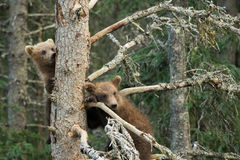 Аляскский бурый медведь Cubs Стоковое Изображение RF
