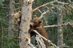Аляскский бурый медведь Cubs Стоковая Фотография RF