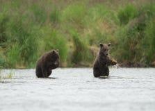 Аляскский бурый медведь Cubs Стоковое Фото